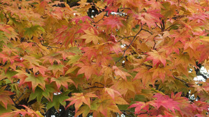 151013kosetsuen_leaf1