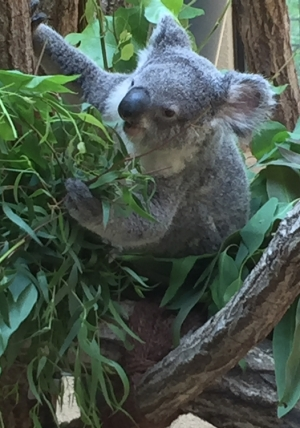 150803oji_koala1