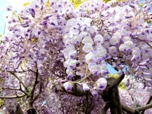 200608fuji_atkousetsuen